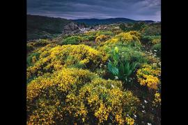 Versant sud du mont Lozère - Explosion de couleurs et de vitalité dans les pâturages d'altitude, au printemps, au moment de la floraison des genêts purgatifs et de la pousse rapide des gentianes jaunes. Au second plan, croupes et chaos granitiques dessinent un paysage somptueux. Au loin, le massif du Bougès.  © Patrick Desgraupes